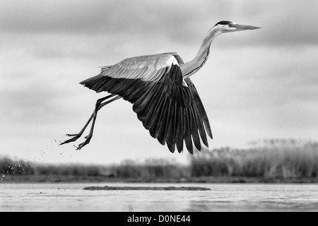 Black and white image of a low flying grey heron side-on over a lake - Stock Image