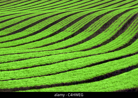 Rows of Carrot Crops - Stock Image