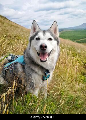 Husky dog in field in the hills of a Scotland - Stock Image