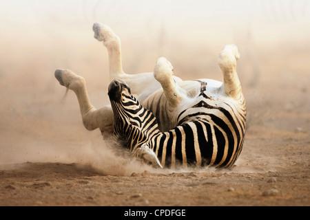 Zebra rolling on dusty white sand; Etosha - Stock Image