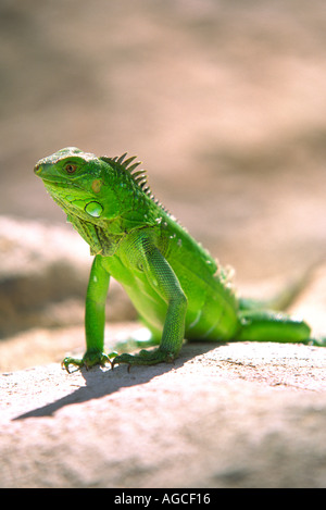 A green Iguana posing for a photograph in the beautiful island of Aruba - Stock Image