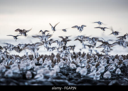Plovers At Seaside - Stock Image