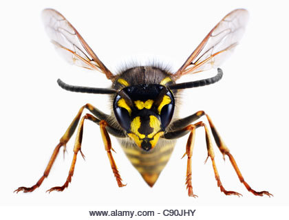 Close up of wasp - Stock Image