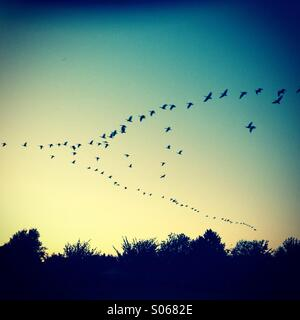 Canadian Geese flying north during sunrise - Stock Image