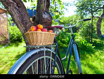 basket of juicy ripe apricots on bike in garden - Stock Image