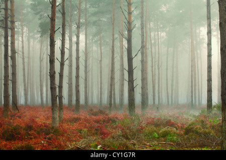 Pine trees in mist at dawn - Stock Image
