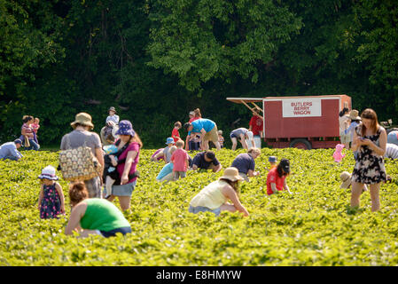 Butler's Orchard, in Germantown, MD, opens its fruit fields to visitors to pick their own strawberries, blueberries, - Stock Image