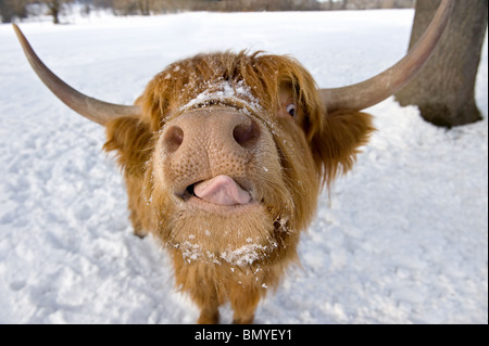 Highland Cattle. Portrait in winter - Stock Image