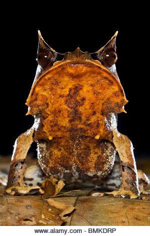 Portrait of Bornean Horned Frog amongst leaf-litter in forest floor, taken at night. Danum Valley, Sabah, Borneo. - Stock Image