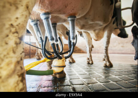 Close up of milking equipment attached to dairy cow; Ridgely, Maryland, United States of America - Stock Image