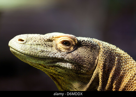 Komodo dragon, portrait of a Komodo Dragon. - Stock Image