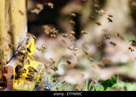 honey bee, hive bee (Apis mellifera mellifera), flying bees around the box, Germany - Stock Image