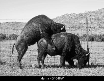 Buffalo's mating in the Oklahoma plains in springtime. - Stock Image
