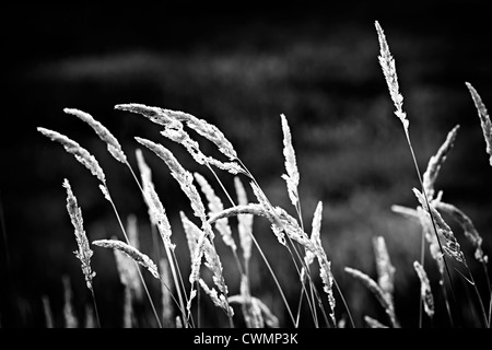 Tall wild grass stalks growing in black and white - Stock Image