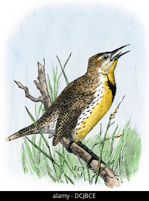 Western meadowlark singing. Hand-colored woodcut - Stock Image