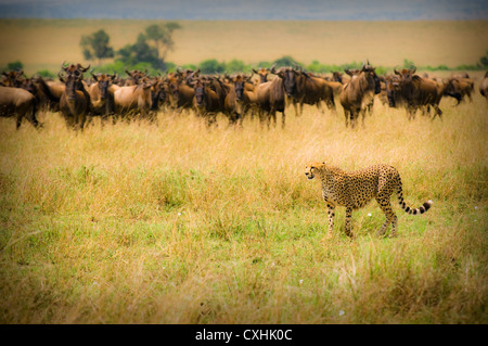 cheetah hunting - Stock Image