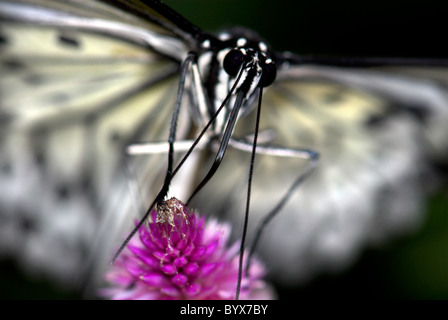 Tree Nymph ButterflyIdea leuconoe Asia - Stock Image