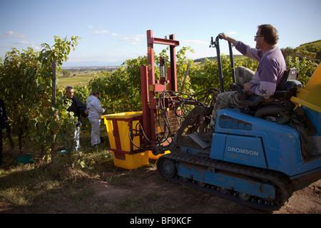 Vendanges harvesting tractor of Alsace grapes along the route des vins villages, Autumn, Alsace Haut Rhin, France - Stock Image