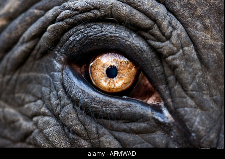 Close up of eye of an Indian elephant Jaipur India - Stock Image