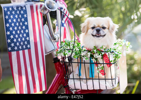 A dog rides in a bicycle basket decorated in flags during the I'On community Independence Day parade July 4, - Stock Image
