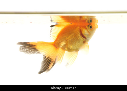 Fantail goldfish cutout portrait studio - Stock Image
