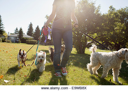 Woman walking dogs in sunny park - Stock Image