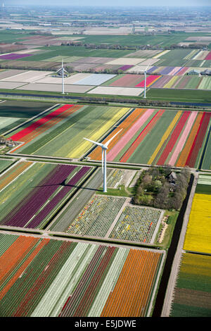 Netherlands, Burgervlotbrug, Tulip fields and windmills, Aerial - Stock Image
