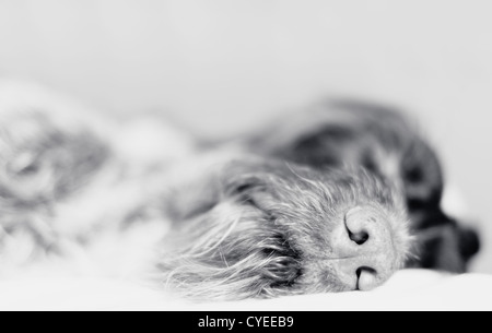 Wire-haired pointer asleep, focus on nose, black and white photo. - Stock Image