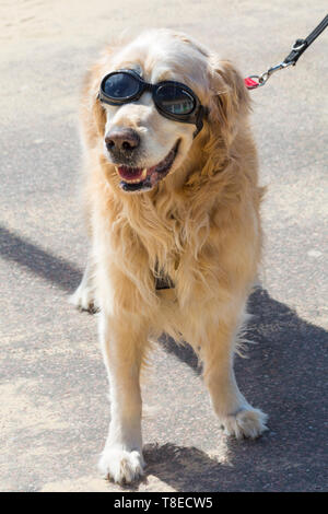 Bournemouth, Dorset, UK. 13th May 2019. UK weather: sunny at Bournemouth beaches with a slight cooling breeze, as visitors head to the seaside to make the most of the sunshine.  Archie the Golden Retriever wears his doggles to protect his eyes from drying out in the sun.  Credit: Carolyn Jenkins/Alamy Live News - Stock Image