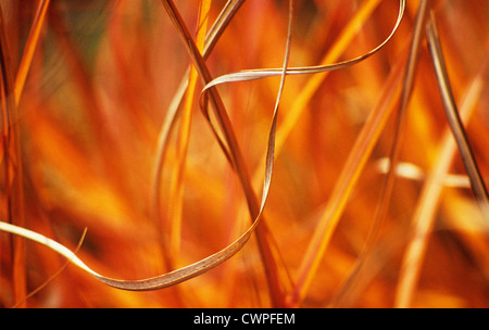Miscanthus sinensis, Miscanthus, Chinese SIlver Grass - Stock Image