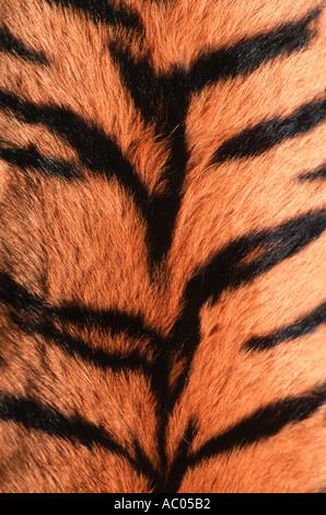 Tiger Panthera tigris Showing skin pattern Endangered Asia but extinct in much of its range - Stock Image