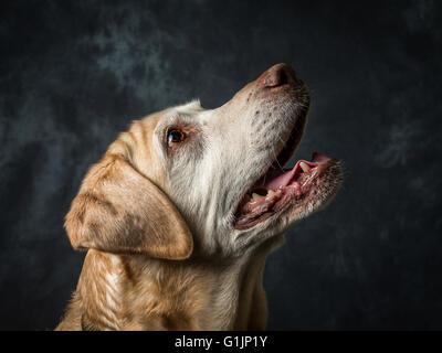 Yellow Labrador Retriever - Stock Image