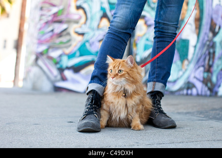 A small longhaired orange cat on a harness and leash sitting between his owner's feet in an urban neighborhood - Stock Image