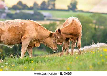 Devon Cow with calf in rural field - Stock Image