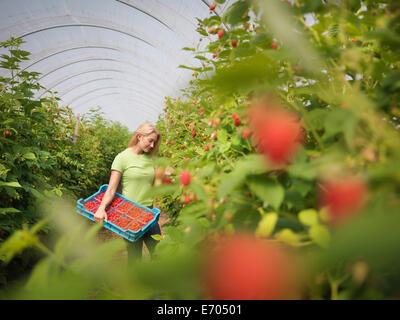Worker picking raspberries in fruit farm - Stock Image