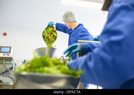 Workers weighing mixed salad leaves - Stock Image