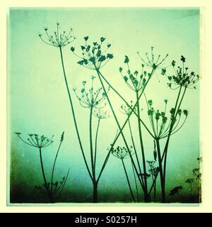 Giant Hog Weed in the Mist - Stock Image