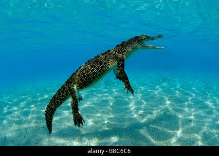 Saltwater crocodile - Stock Image