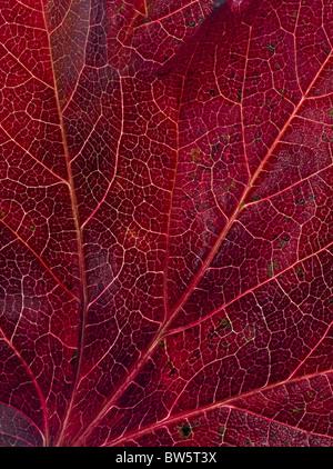 Macro close-up of leaf veins - Stock Image