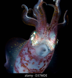 Close up of squid underwater at night - Stock Image