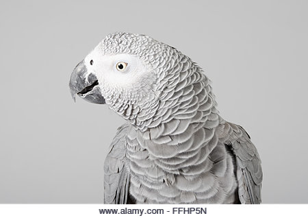 Male African grey parrot. - Stock Image