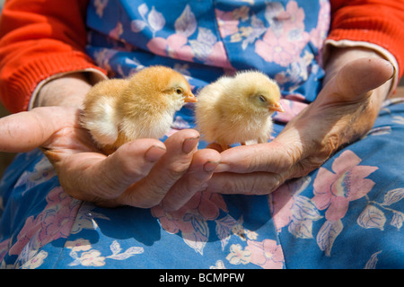 old peasant woman holding chicken in her wrinkled hands - Stock Image