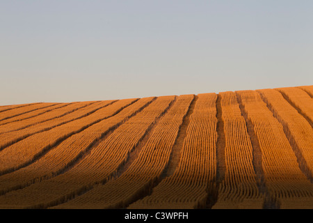 Golden Rolling Palouse Fields with Combine Tracks, Eastern Washington, USA - Stock Image