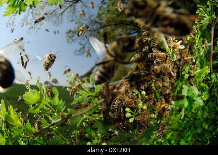 Honey bee (Apis mellifera) swarm - Stock Image