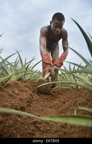 Fair trade pineapple grower in Grand Bassam, Ivory Coast, West Africa. - Stock Image