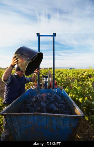 Harvesting of wine 'tempranillo' grapes. Lanciego. Rioja alavesa wine route. Alava. Basque country. Spain - Stock Image