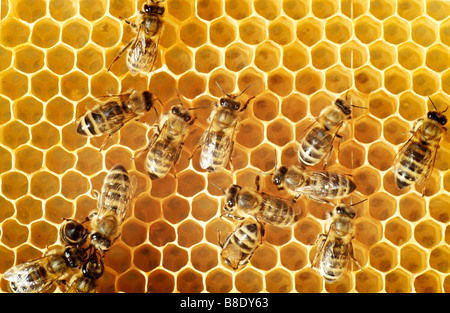 Overhead view of honeybees on a comb - Stock Image