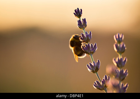 Bumblebee in Lavender Field, Island Hvar, Croatia, Europe - Stock Image