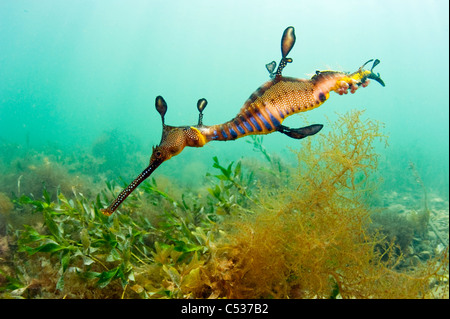 A Weedy or Common Sea Dragon (Phyllopteryx taeniolatus) swims among the kelp around the jetty in Flinders, Australia. - Stock Image