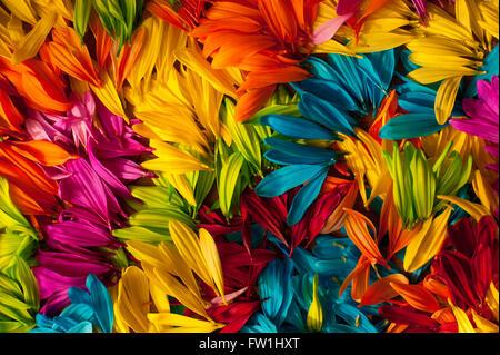 Multicolored daisy petals close-up - Stock Image